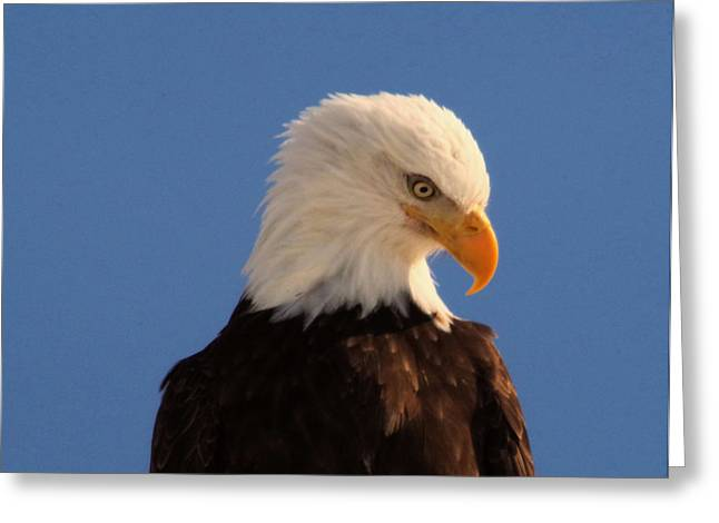 Greeting Card featuring the photograph Beautiful Eagle by Jeff Swan
