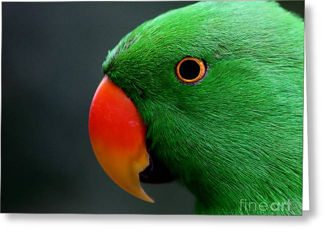 Beautiful Eclectus Parrot Greeting Card