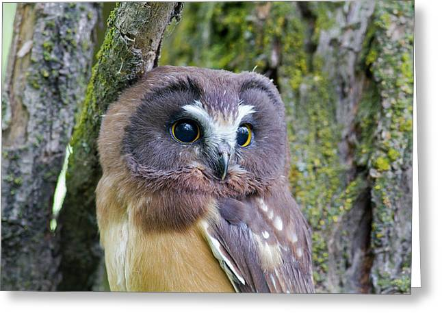 Beautiful Eyes Of A Saw-whet Owl Chick Greeting Card
