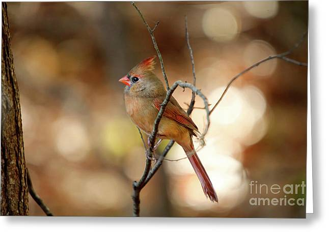 Greeting Card featuring the photograph Beautiful Female Cardinal by Darren Fisher