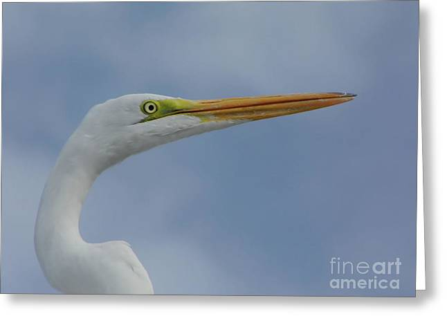 Beautiful Great Egret Greeting Card by D Hackett