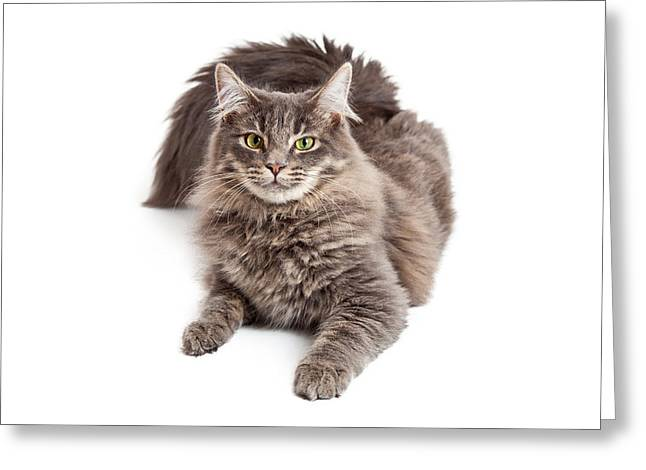 Beautiful Grey Cat Laying Looking Forward Greeting Card by Susan Schmitz
