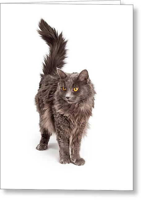 Beautiful Grey Color Long Hair Cat Greeting Card by Susan Schmitz