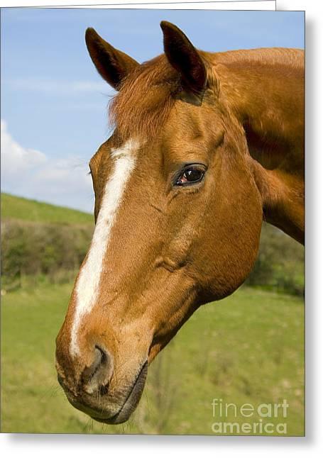 Beautiful Horse Portrait Greeting Card by Meirion Matthias