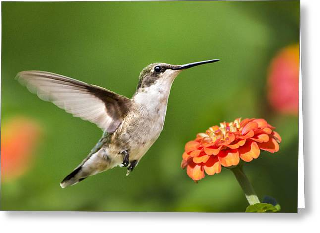 Beautiful Hummingbird Square Greeting Card by Christina Rollo