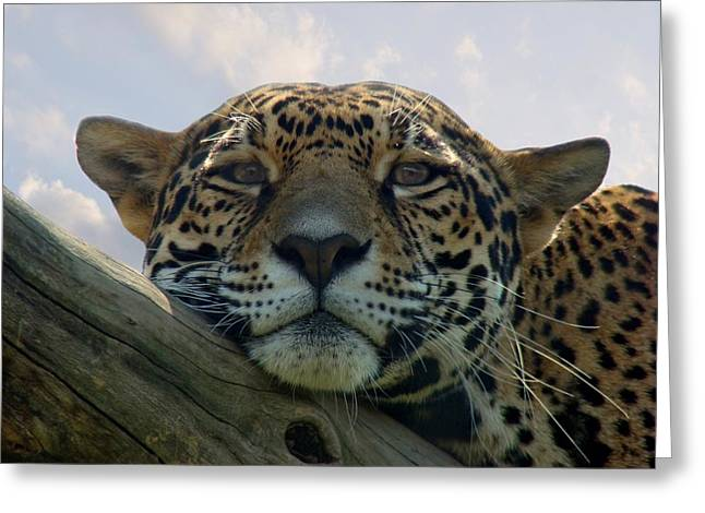 Beautiful Jaguar Greeting Card by Sandy Keeton