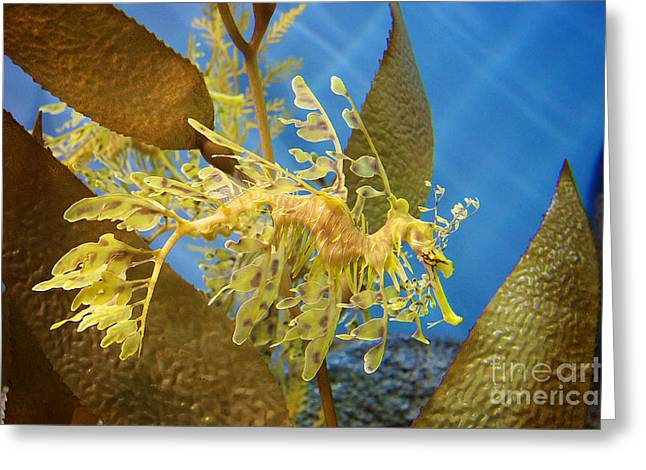 Leafy Sea Dragon Photographs Greeting Cards - Beautiful Leafy Sea Dragon Greeting Card by Brooke Roby