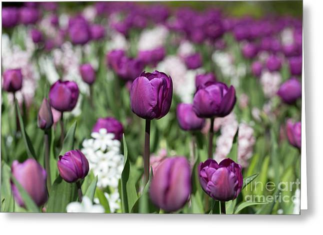 Beautiful Magenta Tulips In Spring Greeting Card by Louise Heusinkveld