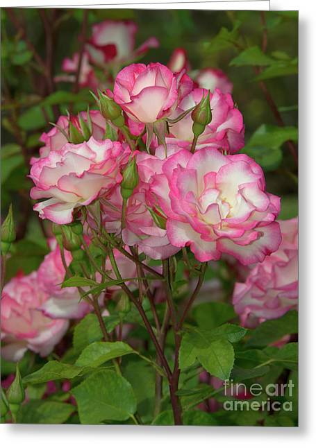 Beautiful Nicole Roses Lighter Greeting Card