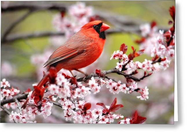 Beautiful Northern Cardinal Greeting Card by Trina Ansel