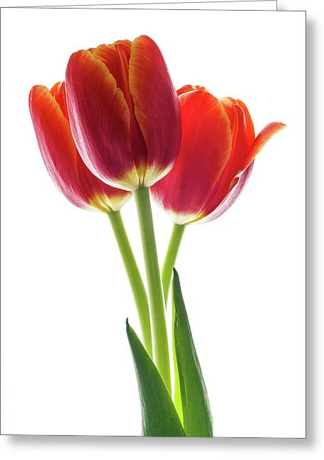 Beautiful Orange Tulips On White Greeting Card by Vishwanath Bhat