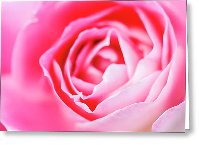 Beautiful Pink Rose Closeup Greeting Card by Vishwanath Bhat