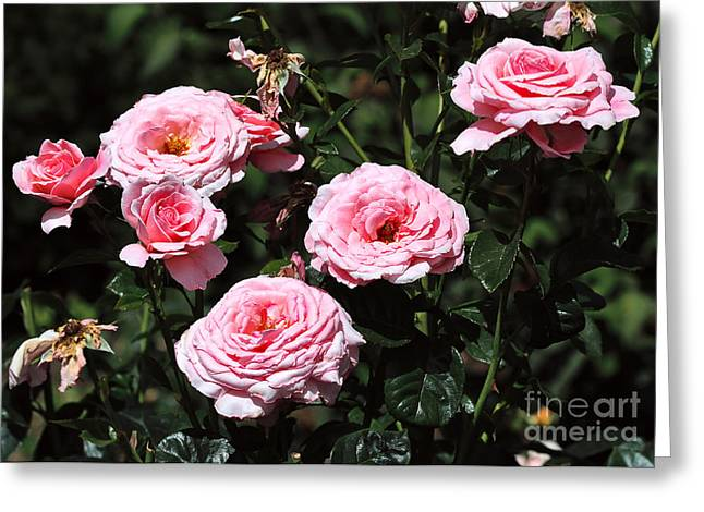 Beautiful Pink Rose L'aimant Greeting Card by Louise Heusinkveld