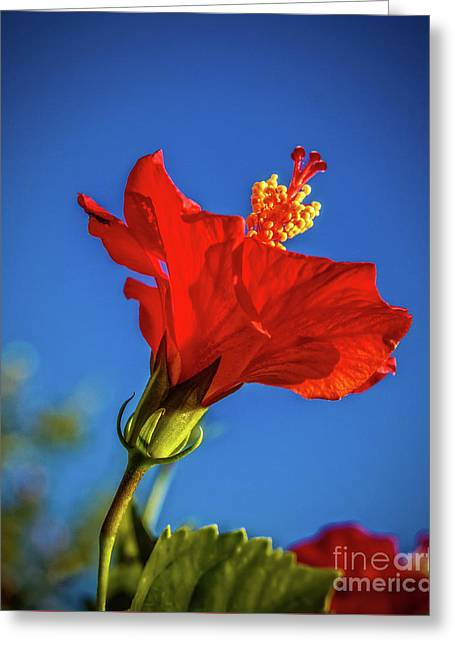Beautiful Red Hibiscus Greeting Card by Robert Bales