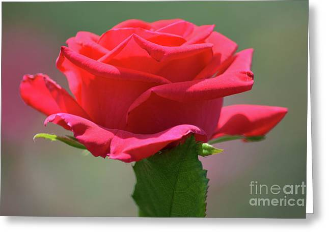 Beautiful Red Rose 2 Greeting Card by Ruth Housley