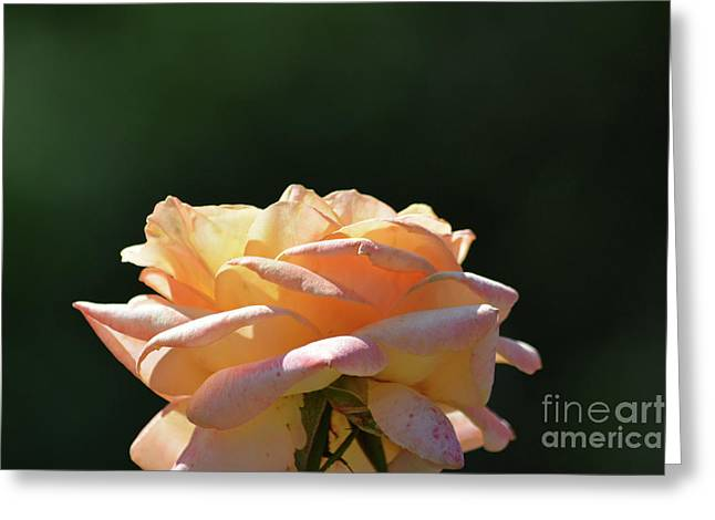 Beautiful Rose 4 Greeting Card by Ruth Housley