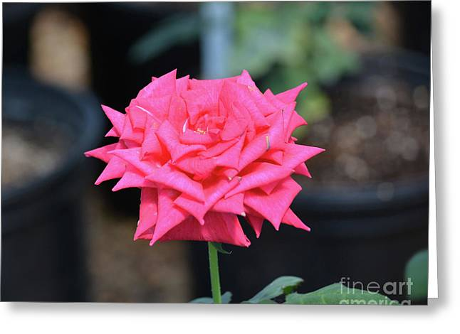Beautiful Rose 5 Greeting Card by Ruth Housley