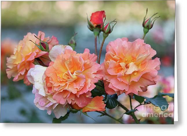 Beautiful Roses  Greeting Card by Carol Groenen