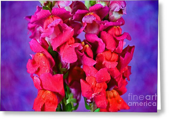 Beautiful Snapdragon Flowers Greeting Card