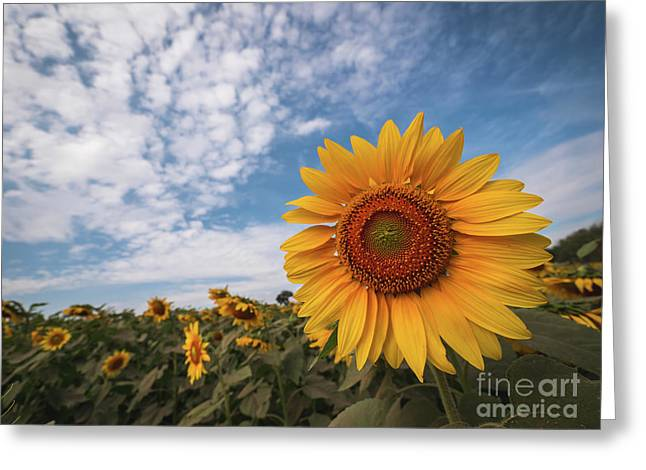 Greeting Card featuring the photograph Beautiful Sunflower Plant In The Field, Thailand. by Tosporn Preede