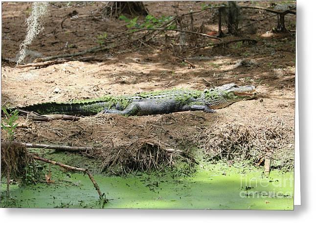Beautiful Sunning Gator Greeting Card by Carol Groenen