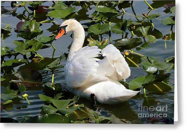 Beautiful Swan In The Lilies Greeting Card by Carol Groenen