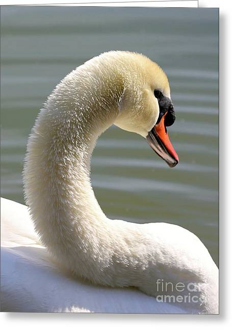 Beautiful Swan Neck Greeting Card
