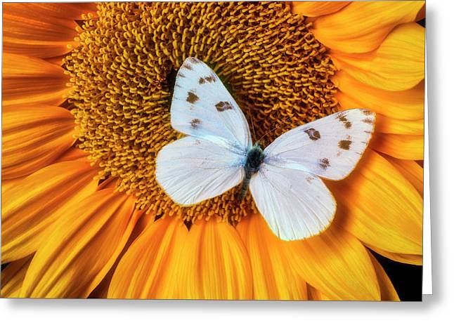 Beautiful White Butterfly On Sunflower Greeting Card