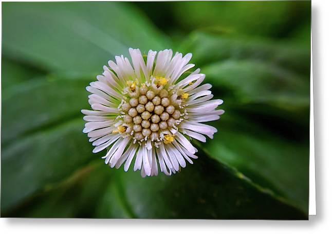 Beautiful White Flower Greeting Card by Argie Dante