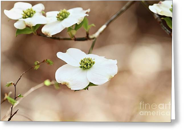 Greeting Card featuring the photograph Beautiful White Flowering Dogwood Blossoms by Stephanie Frey