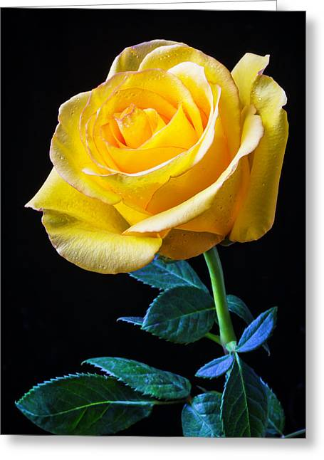 Beautiful Yellow Rose Greeting Card by Garry Gay