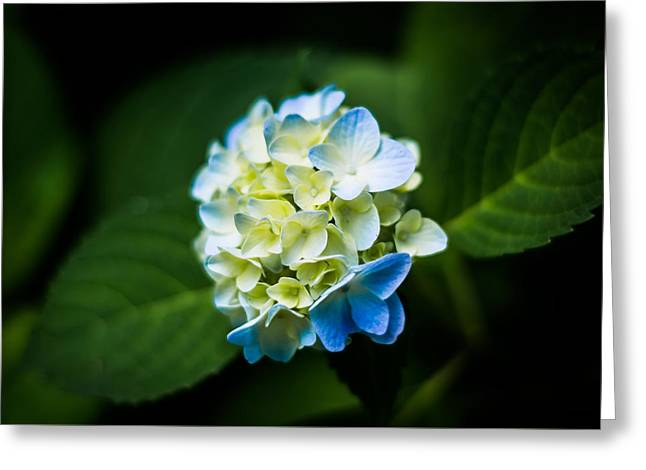 Beauty In A Hydrangea Greeting Card by Shelby Young