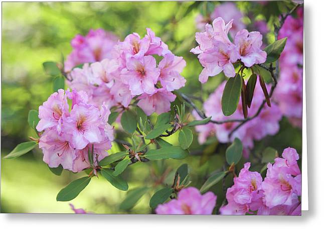 Beauty Of Pink Rhododendron Greeting Card
