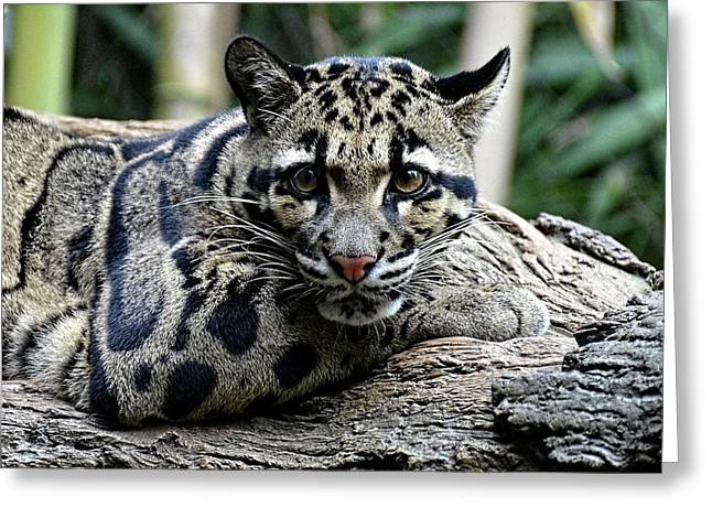 Clouded Leopard Beauty Greeting Card
