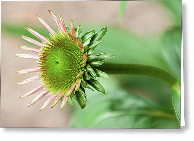 Becoming Echinacea - Greeting Card