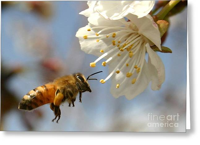 Bee And A Blossom Greeting Card