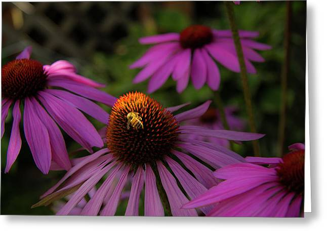 Bee And Coneflower Greeting Card