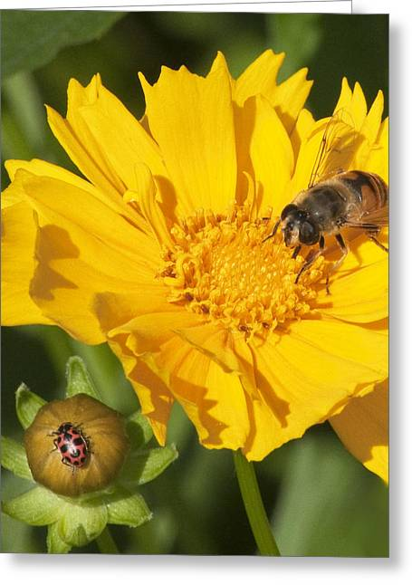 Bee And Ladybug On Coreopsis Greeting Card by George Hawkins