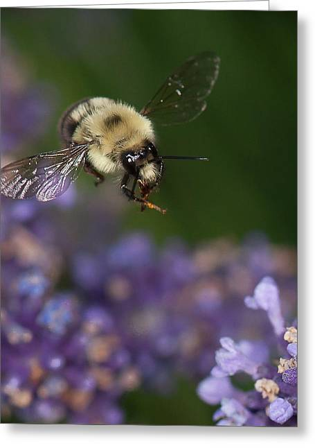 Bee Approaches Lavender Greeting Card