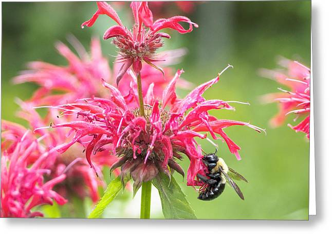 Bee Balm II Square Greeting Card by Marianne Campolongo