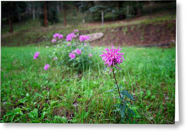 Bee Balm In The Mountains Greeting Card by Mary Lee Dereske