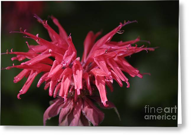 Bee Balm Greeting Card