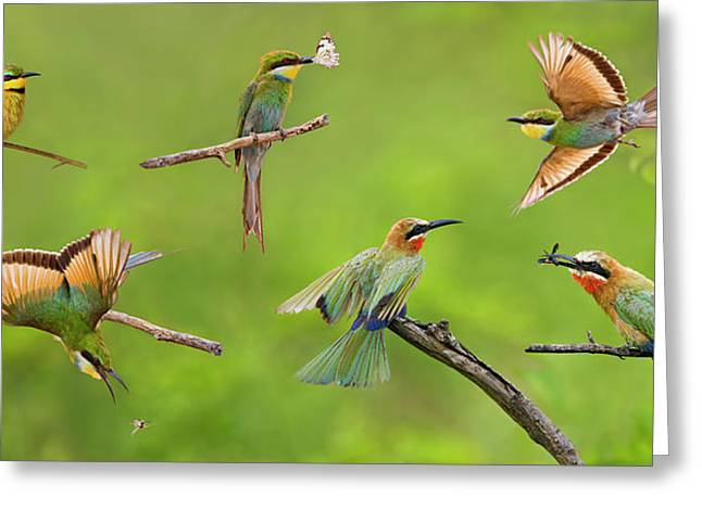 Butterfly In Flight Greeting Cards - Bee-eater Collage Greeting Card by Basie Van Zyl
