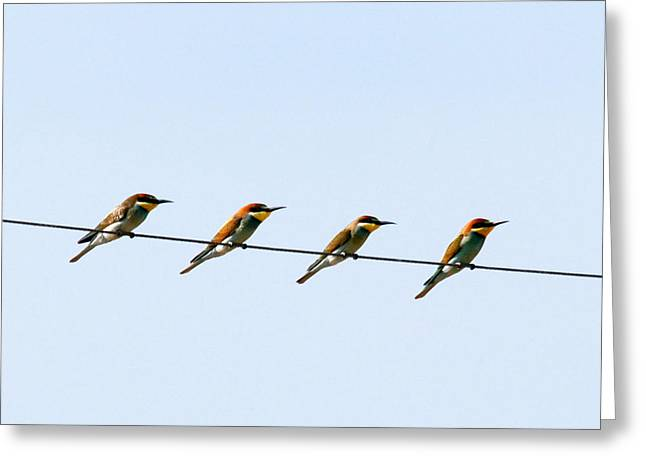 Bee Eaters On A Witre  Greeting Card