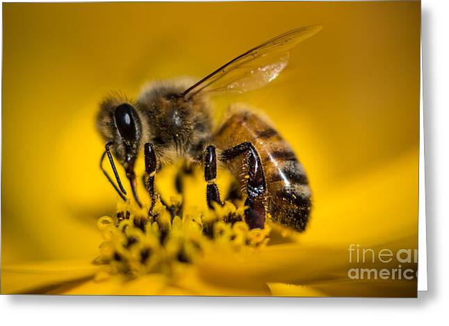 Bee Enjoys Collecting Pollen From Yellow Coreopsis Greeting Card