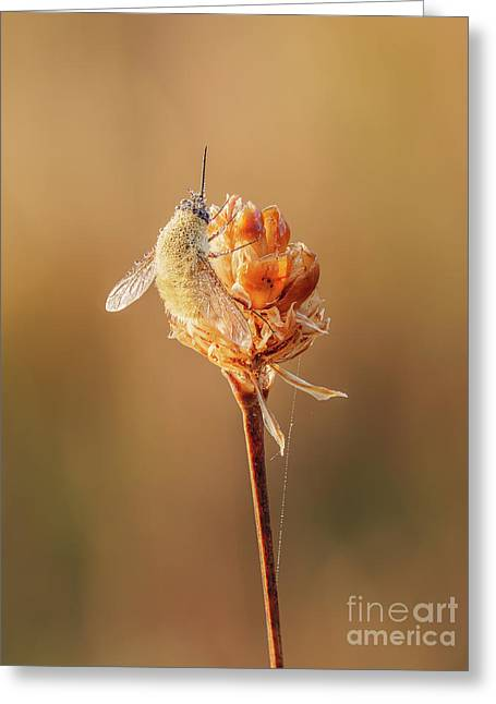Bee Fly I Greeting Card