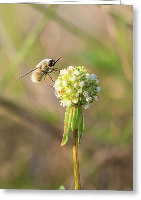 Bee Fly On A Wildflower Greeting Card