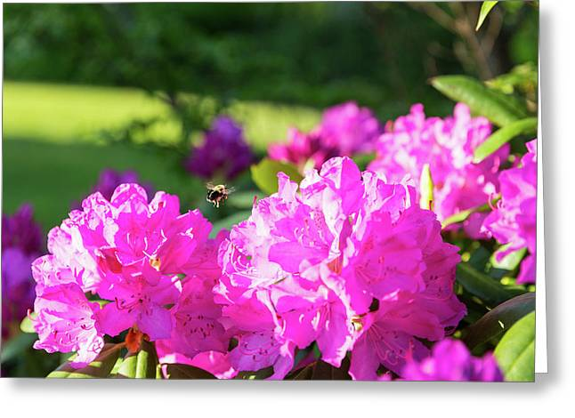 Bee Flying Over Catawba Rhododendron Greeting Card