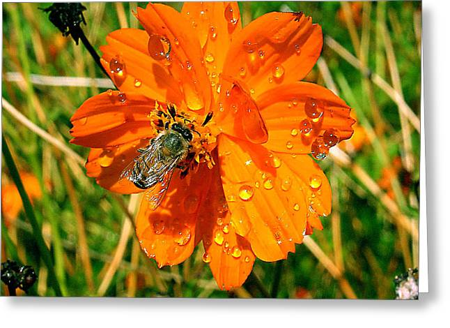 Greeting Card featuring the photograph Bee Gathering Pollen On Desert Cosmos by Merton Allen