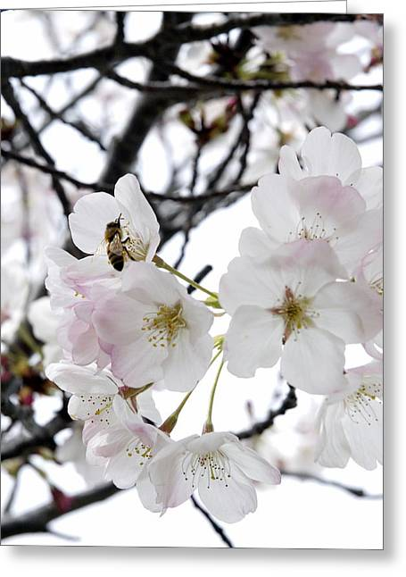 Bee In Blossoms Greeting Card